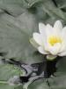 Jan Boybol - Monet's Lily - Avignon